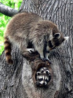 Adorable raccoon family in tree Nature Animals, Animals And Pets, Wild Animals, Beautiful Creatures, Animals Beautiful, Magical Creatures, Cute Baby Animals, Funny Animals, Raccoon Family