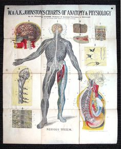 W. And A.K. Johnston's Charts Of Anatomy And Physiology - Plate 7: Nervous System