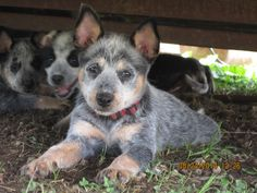 Blue heeler puppies!   Cattle Dogs Rule!