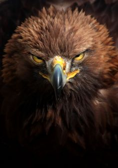 """""""The Stare"""" by Rachel Kearns I love this bird and is one of my favourite shots at the moment, the golden eagle! Eagle Pictures, Bird Pictures, Animal Pictures, Mundo Animal, My Animal, Eagle Art, Golden Eagle, Birds Of Prey, Wild Birds"""
