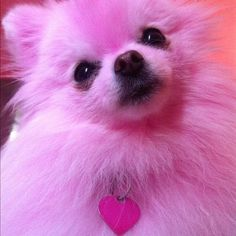 such a pink dog Pink Animals, Colorful Animals, Cute Animals, Cute Puppies, Cute Dogs, Pomeranian Puppy, Pink Dog, Everything Pink, Pink Wallpaper