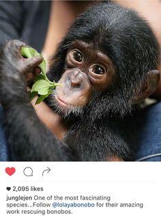 A beautiful baby from Lola ya Bonobo, Kongo Baby Orangutan, Chimpanzee, Orangutans, Cute Baby Animals, Animals And Pets, Draw Animals, Animal Babies, Beautiful Babies, Beautiful World