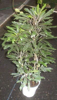 schefflera elegantissima false aralia houseplants interesting houseplant false aralia http