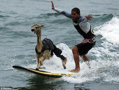 Surfing llama..... Sara Sara Sara Sara Sara!!!!