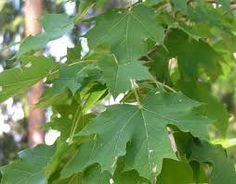Acer platanoides - metsävaahtera Acer, Plant Leaves, Plants, Plant, Planets