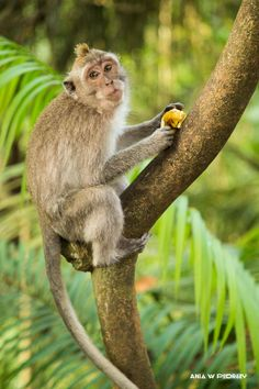 Monkey with banana in Moneky Forest, Ubud, Bali, Indonesia. ANIA W PODRÓŻY travel blog and photography