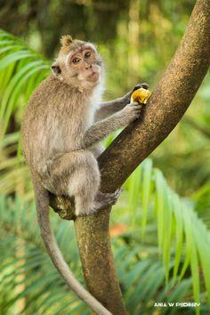 Monkey with banana in Moneky Forest, Ubud, Bali, Indonesia. ANIA W PODRÓŻY travel blog and photography