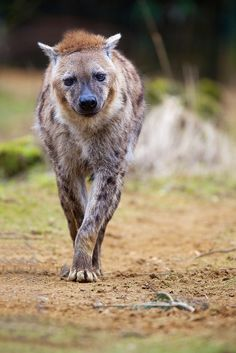 Hyena, by generalstussner Beautiful Creatures, Animals Beautiful, Coyotes, Brown Hyena, Wolf Hybrid, Baby Animals, Cute Animals, African Wild Dog, Wild Creatures