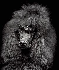 Pudel-Datenbank, Poodle Data Base - PLANET POODLE