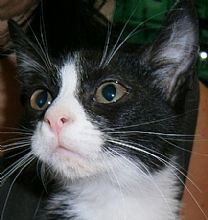 Black and White Cat - because cat fur should show up equally on both black and white clothing: OREO! White And Black Cat, White Cats, I Love Cats, Cool Cats, Domestic Cat, Cat Breeds, Cats And Kittens, Cat Lovers, Dog Cat