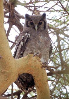 Verreuax's Eagle Owl (Bubo lacteus). Location: Samburu National Park, Kenya, Africa. Photo by Dirk Van den Ber...