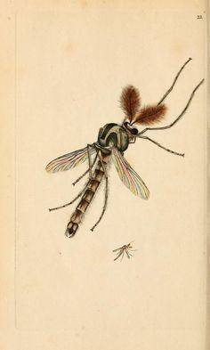 Sea Tipula, The natural history of British insects, Edward Donovan, 1792.