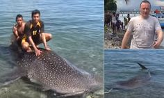 Diver begs Indonesian fisherman not to slaughter a baby whale shark - as locals climbing on its back eventually accept $75 to let the harmless creature go   Read more: http://www.dailymail.co.uk/news/article-3757382/Diver-begs-life-whale-shark-caught-Indonesian-fisherman.html#ixzz4IKAXafhY  Follow us: @MailOnline on Twitter   DailyMail on Facebook