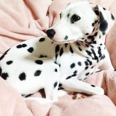 #Cute Little Baby Dalmatian Puppy - Aww!
