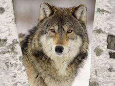 lobo selvagem wallpaper