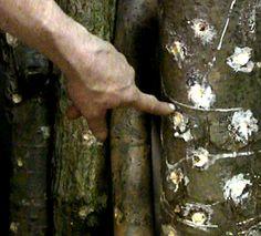 How to grow your own shiitake mushrooms