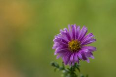 Aster perennis by Yuri Liskevych on 500px