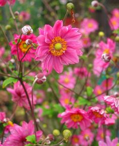 Höstanemon 'Margarete': (Anemone x hybrida) Mörkrosa, halvdubbla, lite rufsiga blommor med gul mitt. Blommar i augusti-september. Vacker även som snittblomma. Vill ha normal, ej för fuktig trädgårdsjord i soligt läge. Blir ca 70 cm hög. Härdig i stora delar av landet. Paket med 3 småplantor