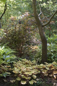 Heuchera 'Caramel'® + Physocarpus 'Diable d'Or'® (Le Vasterival, 08/2014)