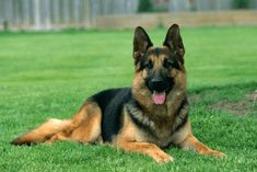 Top 10 health issues for German Shepherds and see how you can manage the cost of treatment.