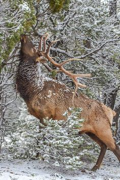Elk munches on snowy branches, South Rim of the Grand Canyon, Arizona, USA ck Elk Pictures, Animal Pictures, Nature Animals, Animals And Pets, Wild Animals, Baby Animals, Wildlife Photography, Animal Photography, Grand Canyon South