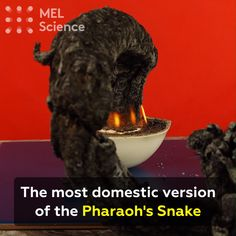 Science Discover The most domestic version of the Pharaohs Snake We grow bigger and bigger snakes each time! Click visit to get step-by-step instructions.