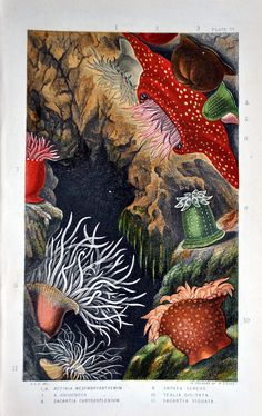 Scene of Tealia, in a lithographic print by William Dickes based on a drawing by Philip Henry Gosse, featured in Actinologia Britannica: A History of the British Sea-Anemones and Corals -- philip henry gosse victorian Sea-Anemones Medusa, Sea Anemone, Posca, Illustrations, Paper Illustration, Science And Nature, Botanical Prints, Sea Creatures, Oeuvre D'art