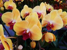 Lots of yellow orchids