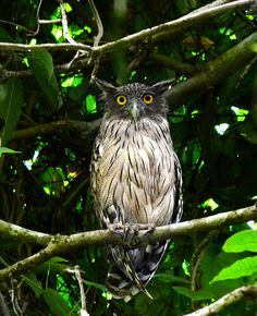 fish owl | birds of prey + wildlife photography