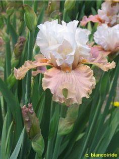 TB Iris 'Non Tentarmi' (Bianco, 2008) 12