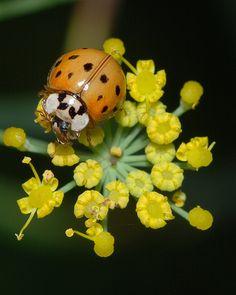 Ladybird Beetle on Fennel   Flickr - Photo Sharing!