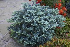 Abies procera 'Glauca Prostrata'    Formerly Abies magnifica 'Prostrata'. A low spreading steely-blue conifer with prostrate branches .  A cultivar of the Noble Fir it grows slowly but would grow to 1.5m across in 10 years without pruning