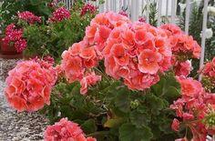 Love Flowers, Silk Flowers, Beautiful Flowers, Black Spot On Roses, Easy To Grow Houseplants, Indoor Flowers, Love Garden, Plant Nursery, Little Plants
