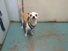Oregon Abu Is A Chi Mix In Need Of A Loving Adopter Rescue