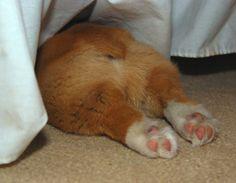 Priceless. Cute Pembroke Welsh Corgi puppy in the Corgi Universal Sleeping Posture (a.k.a. CUSP.)