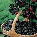 $4 Brazos Blackberry