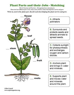 Plant Parts and their Jobs – Matching - Modern Plant Science, Science Biology, Preschool Science, Teaching Science, Science Education, Science Activities, Life Science, Science And Nature, Environmental Education