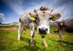 Cows of dolomites