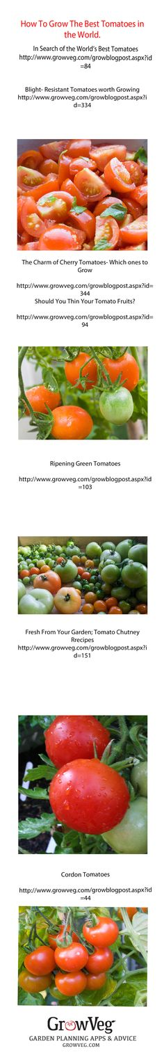 How to grow the Best Tomatoes in the World! A series of articles to help you grow the best and most delicious tomatoes at home in your own garden.