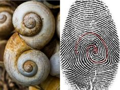 If you look deep into your fingerprint you can see the Fibonacci Spiral. If you notice this snails If you look deep into your fingerprint you can see the Fibonacci Spiral. If you notice this snails shell has the same pattern as well. Fractals In Nature, Spirals In Nature, Fibonacci Sequence In Nature, Fibonacci Spiral In Nature, Fibonacci Number, Maths In Nature, The Golden Mean, Divine Proportion, Sacred Architecture
