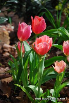 Unknown pink tulips. Aren't they a pretty lipstick shade?