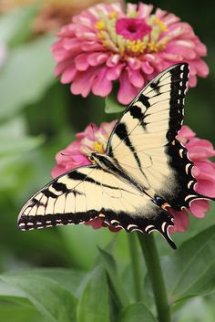 """Butterfly / """"Minha transformação se finalizará quando o fim da vida chegar.  Até lá,serei apenas um centro de constantes transformações!""""  (Laynne Criskel)"""