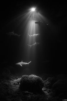 Down deep beneath the surface of the ocean there lives a gang of Sharks. These Sharks search and search for food until they are satisfied .Sharks are a Beautiful creature to look at but they can also be very dangerous if antagonized .