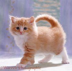 Fluffy ginger female kitten