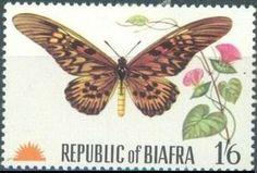Giant African Swallowtail (Papilio antimachus), Ipomoea invo