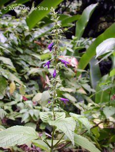 Salvia lamiifolia