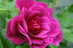 English Rose @ Aiken gardens PEI