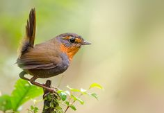 Chucao chilote, pequeñito, pero su canto en el bosque es muy fuerte Birds 2, Small Birds, Colorful Birds, Pet Birds, Beautiful Birds, Animals Beautiful, Amor Animal, Bird Sculpture, Bird Watching