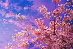 Free Image on Pixabay - Cherry Blossom, Flower, Tree Sakura Wallpaper, Wallpaper Rose, Cherry Blossom Season, Cherry Blossom Flowers, Flower Tree, Pink Blossom, Free Pictures, Free Photos, Most Beautiful Flower Pictures