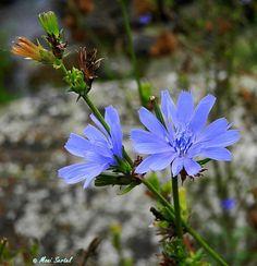 """Um diese """"Zauberpflanze"""" (Cichorium intybus, Wegwarte) auch als """"Blaue Blume der Romantik"""" besungene Blume rankt sich eine schöne Legende, die sich auch in zahlreichenGedichtenwiders…"""